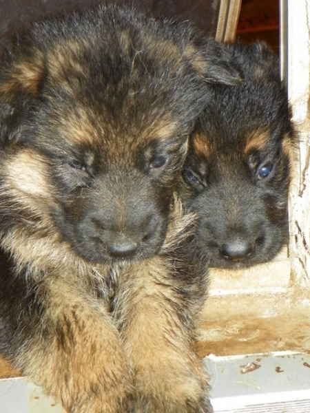Working Companion German Shepherd Puppies For Sale Indiana Dog