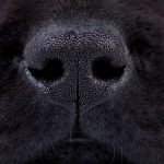 Nose of a Scent Detection Dog