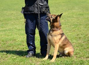Security Dog Sitting by Dog Trainer