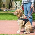 Top Three Service Dog Breeds