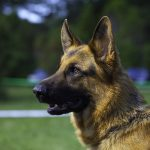 Top Breeds for Scent Detection Dogs