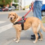 Training a service dog