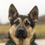German Shephard Protection Dog